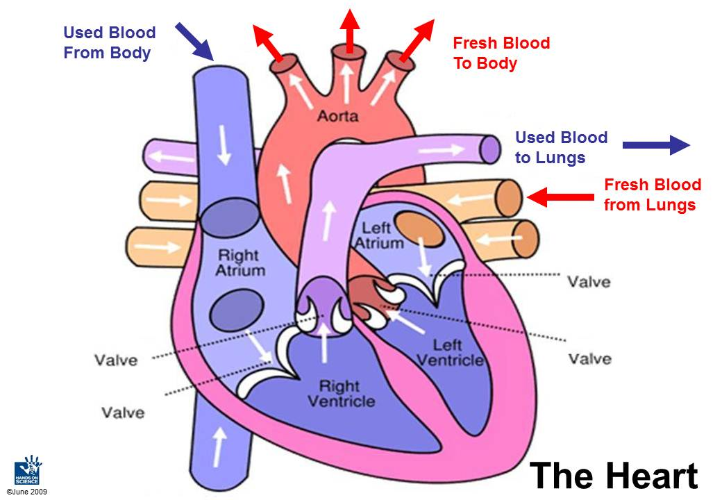 Sc912l1436 Cardiovascular System Welcome To Dr Suris Science